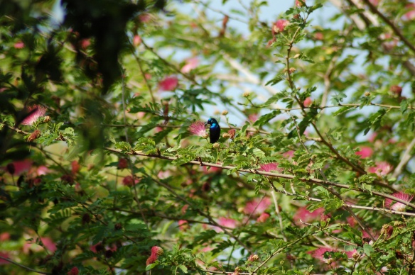 Palestine Sun Bird