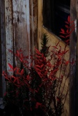 red leaves old door