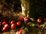 fallen apples (r-z)
