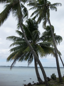 palm tree (cariberri)